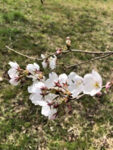 桜 3分咲